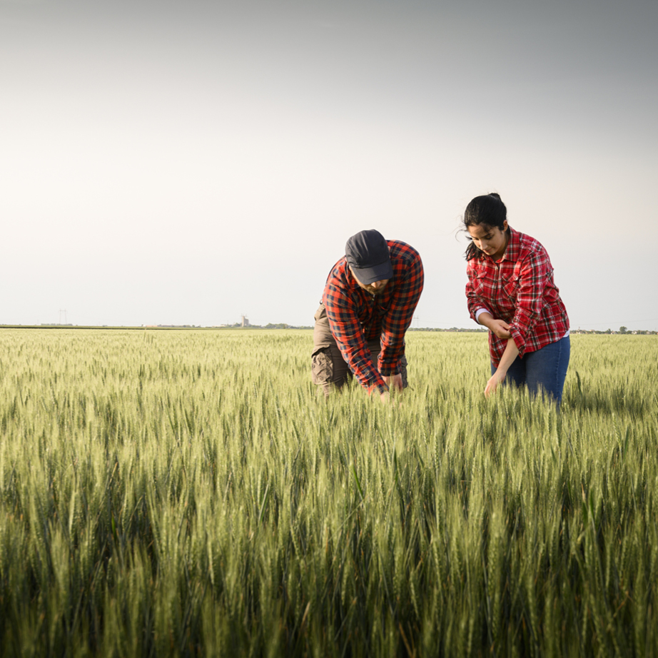 Woman and man in red plaid shirts inspecting wheat